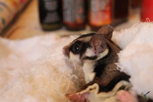Sugar Glider- Teddy by RCKNP