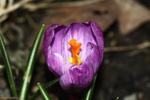 Crocus by chtijerome
