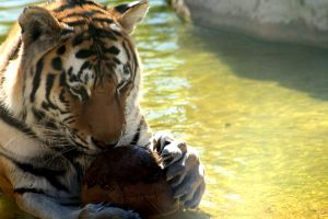 tiger with a ball by hannah1796