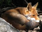 Thoughtful Lola the fox by Momotte2