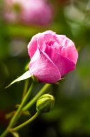 Pink Rose by jsz