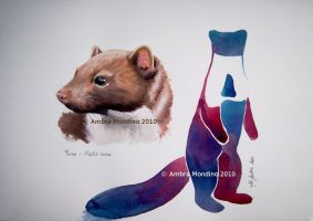 Beech marten, Complete drawing by flysch