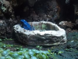 Poison Dart Frog Blue by FearBeforeValor