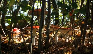 Group of Amanita Muscaria in the Woods by Danimatie