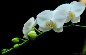 White Orchids 01 by nescio17
