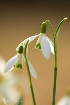 Snowdrop still life by PhotoDragonBird