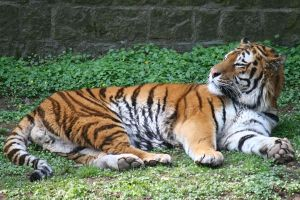 Tiger Stock 01 by Malleni-Stock