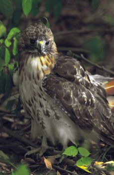 Red Tail Hawk by kl61