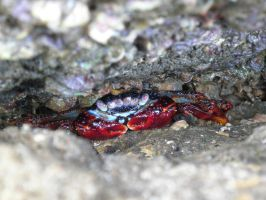 Crab on the rocks by Alvro