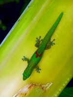 Gold Dust Gecko by joeyartist