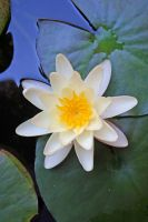Waterlily in my garden, 1 by dpt56