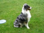 Australian Shepherd 5 by SunnyBlueDay