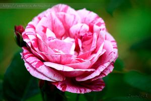 Rose striped by Zarevic-A