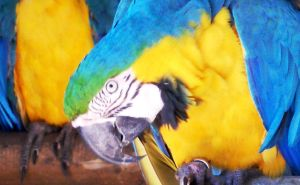Blue and gold macaw 01 by carlbert