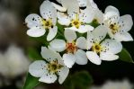 Pear blossom by Heuiin
