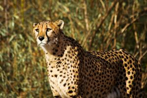 cheetah530 by redbeard31