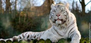 More White Tiger by FelineFerocity26