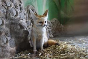 Fennec fox by KaterinaRaed