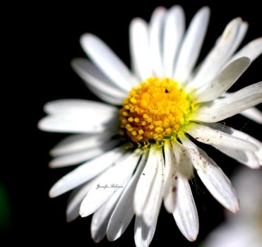 White daisy by lilfrogs
