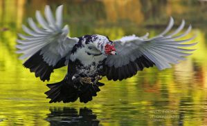 Muscovy duck by AForns