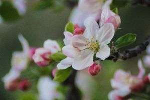 Spring Apple 2 by Tyyourshoes