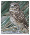 Burrowing Owl 2 by Arrowstar