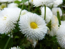 Another Fluffy Flower :)) by Aquamarin-Graphics
