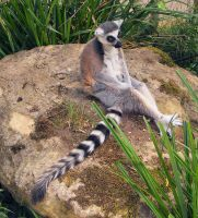 Lemur by Vitaloverdose