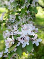 Apple Blossoms 7 by techunit