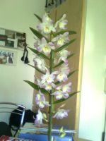 My new Orchid by Thoaee