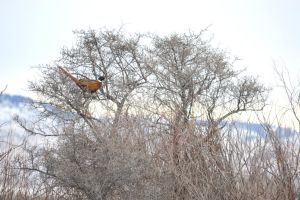 Not Quite a Partridge in a Pear Tree by drigulch