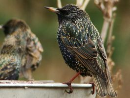 European Starlings Bathing by Genericzombie