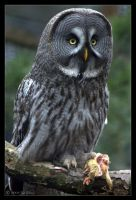 Great Grey Owl by lomoboy