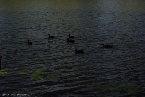 Silhouette of Ducks by CuriouserX10