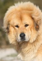 Chempo, the Tibetan Mastiff by SaNNaS