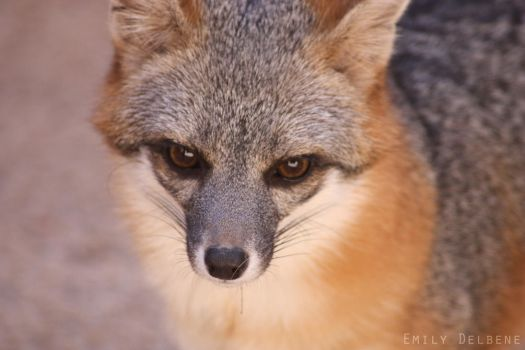 Grey Fox by emaeve