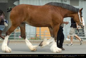 Clydesdale 6 by SalsolaStock