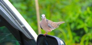Spotted Dove.. by Lizzistudios