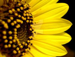 The Heart Of Sunflower by acetyl-choline