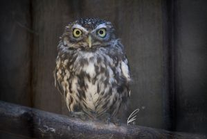 little owl by SunshadePICTURES