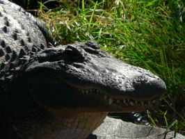 American Alligator 03 by lizardman22