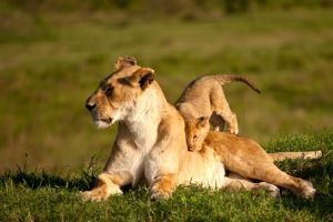 African Lion 47 by catman-suha