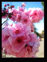Cherry Blossoms? by Andarelle