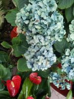 Blue and Green Hydrangea Flowers with Ladybug by Metacharis