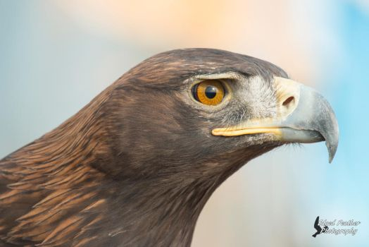 Golden Eagle 4 by EdgedFeather