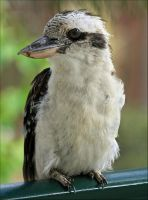 Australian Kookaburra by Firey-Sunset