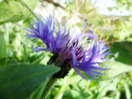 Purple Thistle by CaitlinDickson