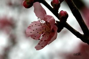 Pink Sakura by Silver-Dew-Drop