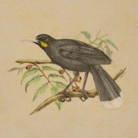 Huia Bird by fatboygotsick