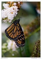 monarch butterfly with white f by yellowcaseartist